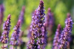 Blüten-Salbei 'Negrito'