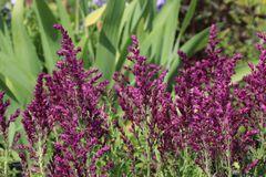 Blüten Salbei 'Pusztaflamme'
