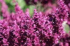 Blüten-Salbei 'Schwellenburg'