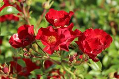Bodendecker-Rose 'Bassino' ®
