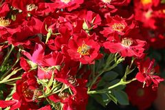 Bodendecker-Rose 'Bienenweide ® Rot'