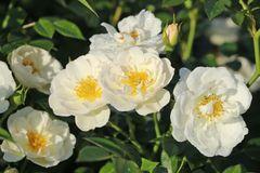 Bodendecker-Rose 'Bienenweide ® Weiß'