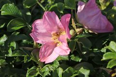 Bodendecker-Rose 'Dagmar Hastrup'