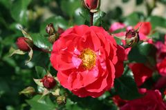Bodendecker-Rose Flower Carpet ® 'Heidefeuer' ®