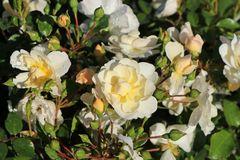 Bodendecker-Rose 'Heidesommer' ®