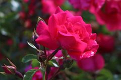 Bodendecker-Rose 'Heidetraum' ®
