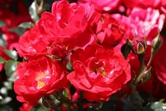 Bodendecker-Rose 'Limesglut' ®