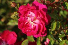 Bodendecker-Rose 'Lipstick'