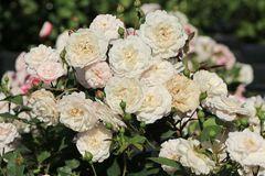 Bodendecker-Rose 'Little White Pet'