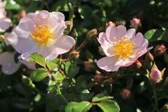 Bodendecker-Rose 'Medeo' ®