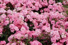 Bodendecker-Rose 'Mirato' ®