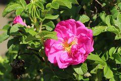 Bodendecker-Rose 'Pierette' ®