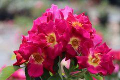 Bodendecker-Rose 'Weg der Sinne' ®