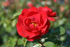 Bodendecker-Rose 'Heidekind' ®