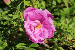 Bodendeckerrose 'Pink Roadrunner' ®