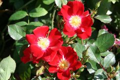 Bodendecker-Rose 'Red Meidiland'