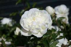 Bodendecker-Rose 'White Meidiland ®'