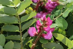Borstenakazie 'Macrophylla'