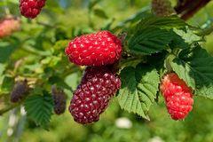 Brombeere 'Buckingham Tayberry' ®