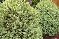 Buchsbaum 'Elegantissima'