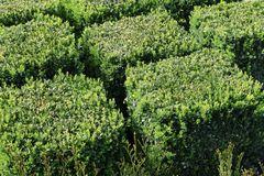Buchsbaum Würfel