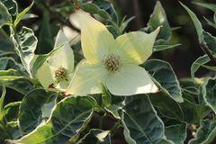 Buntblättriger Blumen-Hartriegel 'Peve Foggy'