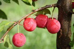 Bunte Kirschpflaume '1a-plant Milanka ®'