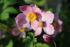 China-Herbst-Anemone 'Praecox'