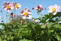 China-Herbst-Anemone 'September Charme'