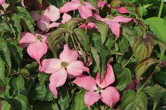 Chinesischer Blumen-Hartriegel 'Scarlet Fire' ®
