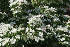 Chinesischer Blumen-Hartriegel 'Schmetterling'