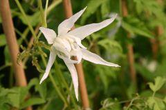 Clematis 'Albiflora'