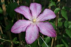 Clematis 'Betty Risdon'
