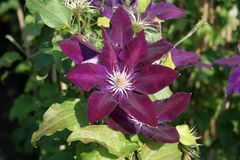 Clematis 'Black Tea'