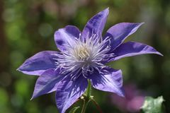 Clematis 'Crystal Fountain' / 'Fairy Blue' TM Evipo038 (N)
