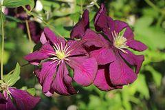 Clematis 'Etoile Violett'