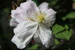 Clematis 'Giant Star'