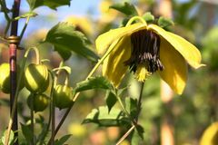 Clematis 'Golden Harvest'