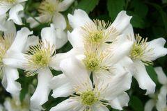 Clematis 'Grandiflora' Alba