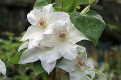 Clematis 'Hyde Hall' TM Evipo 009 (N)