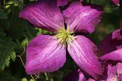 Clematis Jackmanii 'Purpurea'