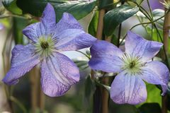 Clematis 'Jenny'