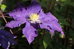 Clematis 'Lady Northcliff'