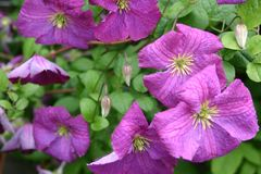 Clematis 'Little Butterfly'