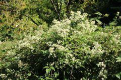 Clematis paniculata (terniflora) / maximowiczaiana