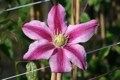 Clematis 'Patricia Anne Fretwell'