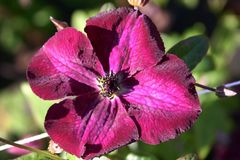 Clematis 'Royal Velours'