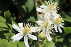 Clematis 'Summer Snow' / 'Paul Farges'