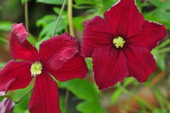 Clematis 'Vitiwester' (S)