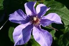 Clematis 'William Kennett'